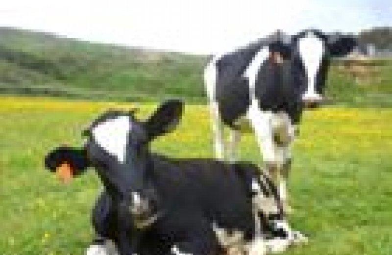 Visita una granja de vaques